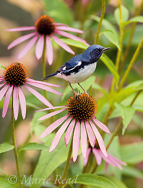 Black-throated Blue Warbler (Dendroica caerulescens) male perched on Purple Coneflower in an autumn garden, New York, USA<br />