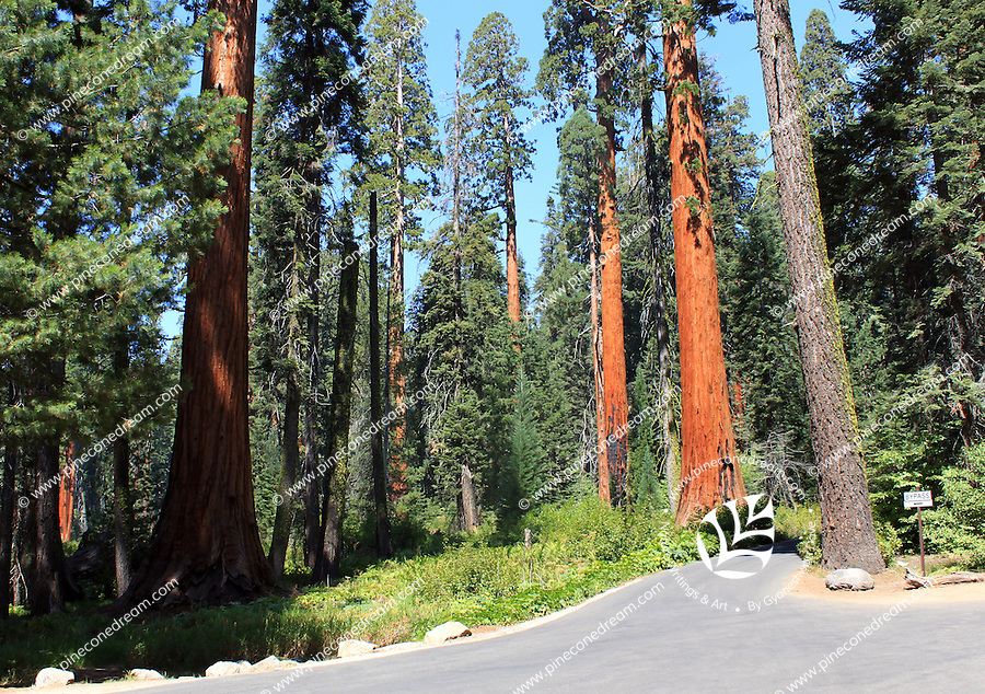 Stock photo: Giant red wood trees and a road passing from the Sequoia National park in California USA.