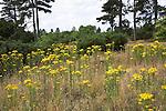 Yellow flowers of Common Ragwort, Senecio jacobaea, on heathland in the Suffolk sandlings, Butley, England