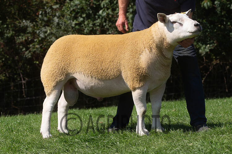 1.9.2020 Texel Sheep Society English National Sale<br /> Lot 135 Whitehart Clean Cut owned by Miss N Hartwright sold for 6500 gns<br /> ©Tim Scrivener Photographer 07850 303986<br />      ....Covering Agriculture In The UK.