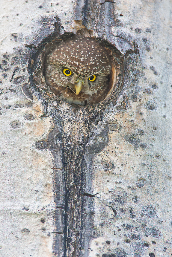 A female Pygmy Owl pops up to fill the nest cavity entrance, where she calls for her mate to deliver food. Northern Pygmy Owls nest predominately in woodpecker-created cavities, especially those excavated by Hairy Woodpeckers.