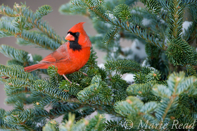 Northern Cardinal (Cardinalis cardinalis) male in fir in winter, New York, USA