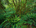 Olympic National Park, WA     <br /> Sword ferns (Polystichum munitum) and vine maple(Acer cirinatum) beneath mossy maple trunks along the Hall of Mosses trail