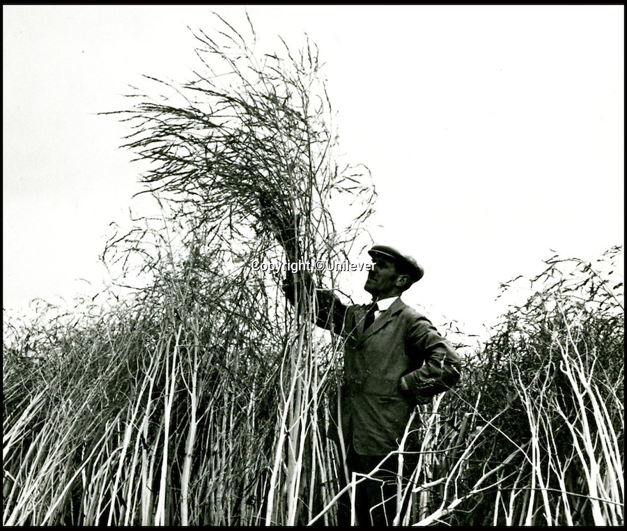 BNPS.co.uk (01202 558833)<br /> Pic: Unilever/BNPS<br /> <br /> Mustard crop in the 1950's.<br /> <br /> A staple of the British kitchen is celebrating its anniversary this year as Colman's Mustard turns 200.<br /> <br /> Archivist's research reveals the 200 year history of Colmans mustard.<br /> <br /> Founded in Norwich in 1814 by Jeremiah Colman, the super hot condiment made from Norfolk mustard seeds soon become a family favourite at dinner tables throughout the Empire, with even Capt Scott taking a case on his ill fated Terra Nova expedition to the south pole.<br /> <br /> So vital was the powdered sauce that it escaped wartime rationing to keep the home fires burning during the dark days of WW2. <br /> <br /> Despite being founded a year before Napoleon met his Waterloo, the world famous brand still produces 3000 tons of the fiery favourite every year exporting to all parts of the globe.