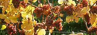Europe/France/Alsace/67/Bas-Rhin/Cleebourg : Vignoble détail raisin