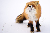 A red fox finishes up a meal discovered on the tundra north of the Arctic Circle on Alaska's north slope.
