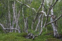 Skandinavischer Birkenwald, Skandinavien, Birke, Birken, Betula spec., Birch