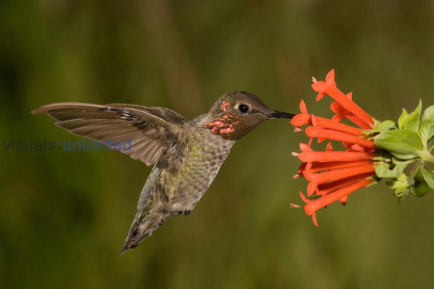 Anna's Hummingbird male (Calypte anna) feeding at a red tubular Bouvardia ternifolia flower, Arizona, USA.