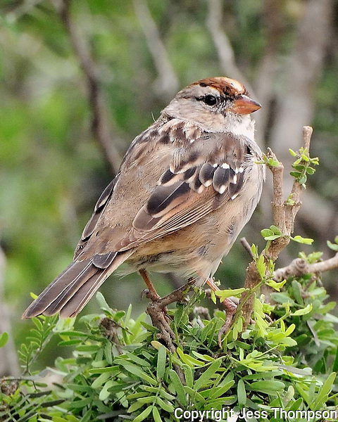 White-crowned Sparrow, South Texas