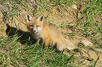 Red Fox Kit sitting sitting outside its den