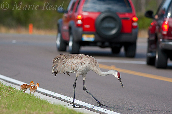 Greater Sandhill Cranes (Grus canadensis) (Florida race), adult with two small chicks  crossing road, Kissimmee, Florida, USA