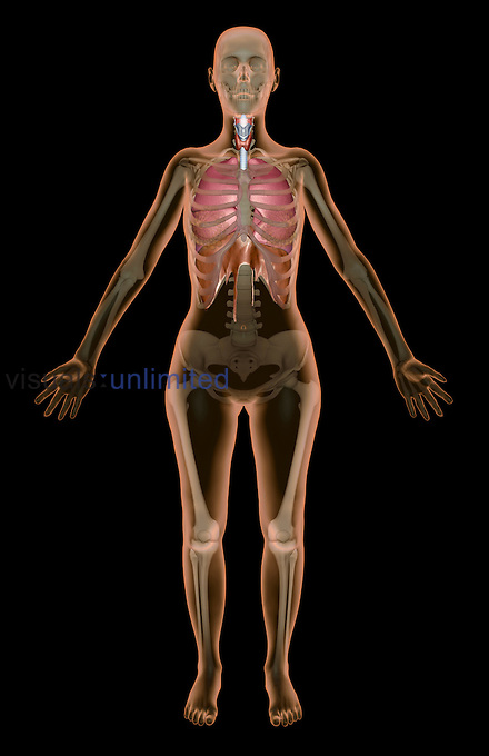 An anterior view of the respiratory system relative to the skeleton. The surface anatomy of the body is transparent. The mammary glands and diaphragm are also included. Royalty Free