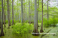 63895-14603 Bald Cypress trees (Taxodium distichum) Heron Pond Little Black Slough, Johnson Co. IL
