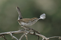 Bewick's Wren, Thryomanes bewickii, adult with feather as nesting material, Starr County, Rio Grande Valley, Texas, USA