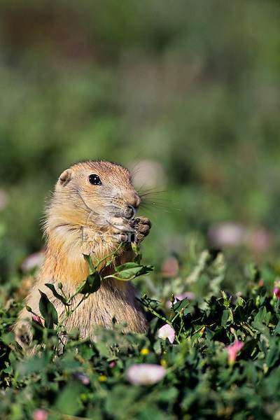 Young Black-tailed Prairie Dog (Cynomys ludovicianus), Western Great Plains, June