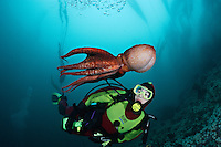 pp0129-D. Pacific Giant Octopus (Enteroctopus dofleini) interacts with scuba diver (Model Released). British Columbia, Canada, Pacific Ocean..Photo Copyright © Brandon Cole. All rights reserved worldwide.  www.brandoncole.com..This photo is NOT free. It is NOT in the public domain. This photo is a Copyrighted Work, registered with the US Copyright Office. .Rights to reproduction of photograph granted only upon payment in full of agreed upon licensing fee. Any use of this photo prior to such payment is an infringement of copyright and punishable by fines up to  $150,000 USD...Brandon Cole.MARINE PHOTOGRAPHY.http://www.brandoncole.com.email: brandoncole@msn.com.4917 N. Boeing Rd..Spokane Valley, WA  99206  USA.tel: 509-535-3489