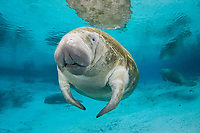 Florida Manatee, Trichechus manatus latirostris, A subspecies of the West Indian Manatee. Crystal River, Florida
