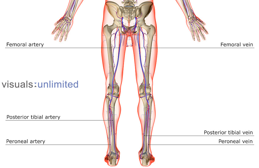 A posterior view of the blood supply of the lower limbs. The surface anatomy of the body is semi-transparent and tinted red. Royalty Free