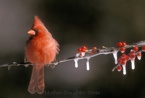 Male Northern Cardinal Richmondena cardinalis, sitting on icy branches of frozen holly  berry and snow