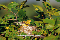 01640-10210 American Goldfinch (Carduelis tristis) female at nest, Marion Co.  IL