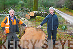 Billy Tangney (Tree Maintenance Killarney) and Padraig O' Sullivan (Conservation Ranger) standing beside the 100 ft tall Fig tree which fell after strong winds and stormy weather on St. Stephan's Day in Killarney National Park.