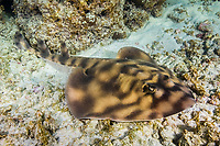 banded guitarfish, mottled guitarfish, prickly skate, striped guitarfish, Zapteryx exasperata, Baja California, Mexico, Sea of Cortez, Gulf of California, Pacific Ocean