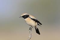 Desert Wheatear Oenanthe deserti Length 14cm<br /> Well-marked wheatear, adapted to desert and semi-desert habitats. Breeds across North Africa, Middle East and central Asia. Winters within range, retreating further south and east from cold parts of its range. Easterly winds bring vagrants to Britain, mostly in late autumn and early winter. All birds have diagnostic uniformly dark tail. Adult male has black hood and black wings; plumage otherwise sandy-buff.