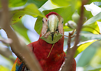 A Scarlet macaw snacks on its favorite food: almonds.