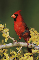 Northern Cardinal, Cardinalis cardinalis,male on blooming Blackbrush Acacia (Acacia rigidula) , Lake Corpus Christi, Texas, USA, March 2003