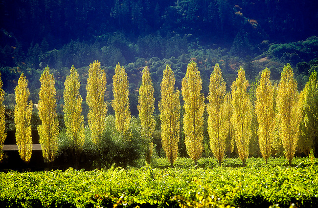 Lombardy poplar trees line a Calistoga vineyard