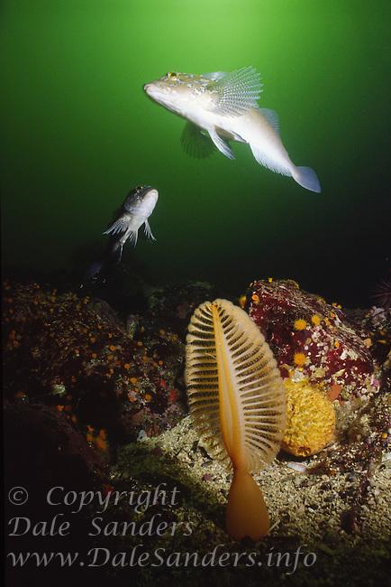 Kelp Greenlings (Hexagrammos decagrammus) and an Orange Sea pen (Ptilosarcus gurneyi , British Columbia, Canada.