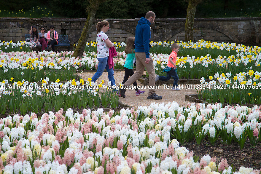 04/05/15<br /> <br /> <br /> Fragrant Hydrangeas  and daffodills.<br /> People flock to enjoy the Bank Holiday Monday weather in the gardens of Chatsworth House, in the Derbyshire Peak District. <br /> <br /> All Rights Reserved - F Stop Press.  www.fstoppress.com. Tel: +44 (0)1335 418629 +44(0)7765 242650