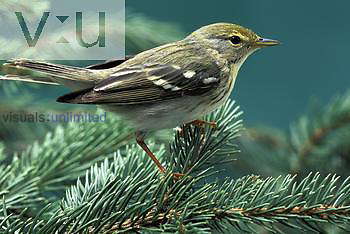 Blackpoll Warbler female in breeding plumage