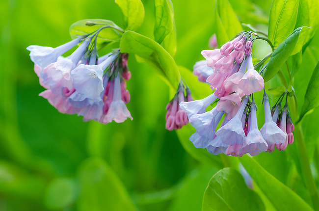 Bluebells bloom in Spring at Maple Grove Forest Preserve in DuPage County, Illinois