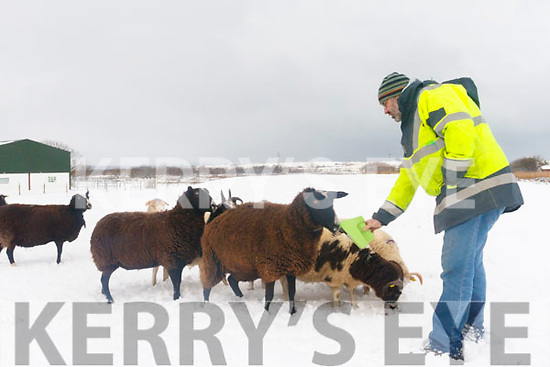 Roy Bowler of Sandy Feet Farm Camp, feeding his unusual variety of sheep during the snow on Friday