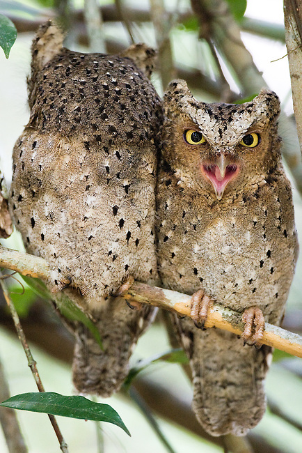 .Mating pair of Sokoke Scops Owls (Otus ireneae) in Kenya's Arabuko Sokoke forest..IUCN List: Endangered