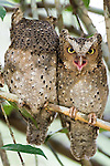 .Mating pair of Sokoke Scops Owls (Otus ireneae) in Kenya's Arabuko Sokoke forest..IUCN List: Endangered