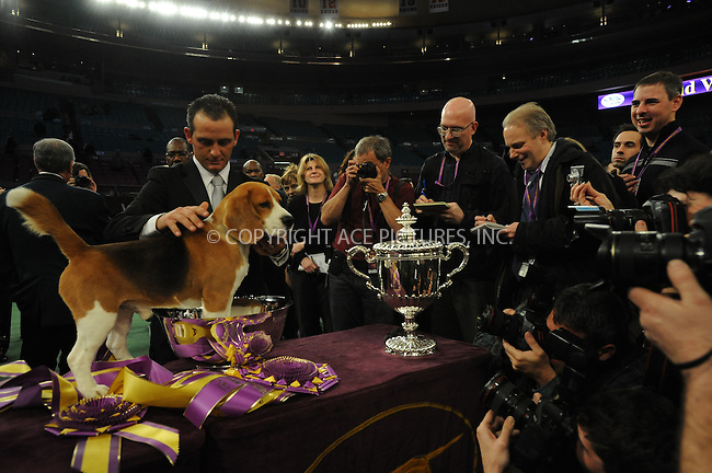 WWW.ACEPIXS.COM . . . . . ....February 12 2008, New York City....A Beagle named Uno was the winner of Best Of Show, seen here with handler Aaron Wilkerson, at the 132nd Annual Westminster Kennel Club Dog Show in Manhattan....Please byline: KRISTIN CALLAHAN - ACEPIXS.COM.. . . . . . ..Ace Pictures, Inc:  ..(212) 243-8787 or (646) 679 0430..e-mail: picturedesk@acepixs.com..web: http://www.acepixs.com