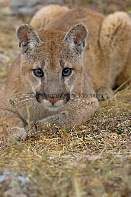 Close-up of a mountain lion stalking, Montana, United States
