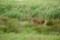 Red deer stag at RSPB Leighton Moss, Silverdale, Carnforth, Lancashire.