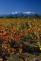 Europe/France/Languedoc-Roussillon/66/Pyrénées -Orientales/Terrais/Env de Thuir : Vignes AOC Côtes du Roussillon et Massif du Canigou