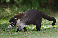 White-nosed Coati, Nasua narica, adult walking, Central Valley, Costa Rica, Central America, December 2006