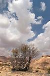 Israel, the Negev desert. Moringa Peregrina in Wadi Gov