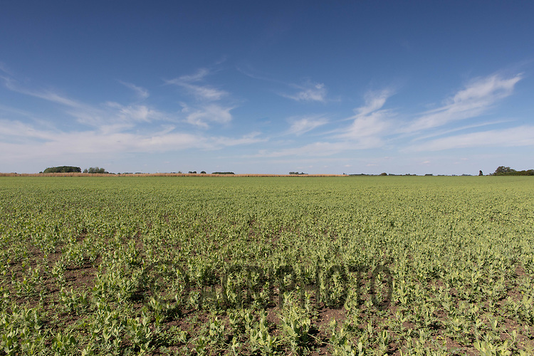 21.5.2020 Field of peas <br /> ©Tim Scrivener Photographer 07850 303986<br />      ....Covering Agriculture In The UK....