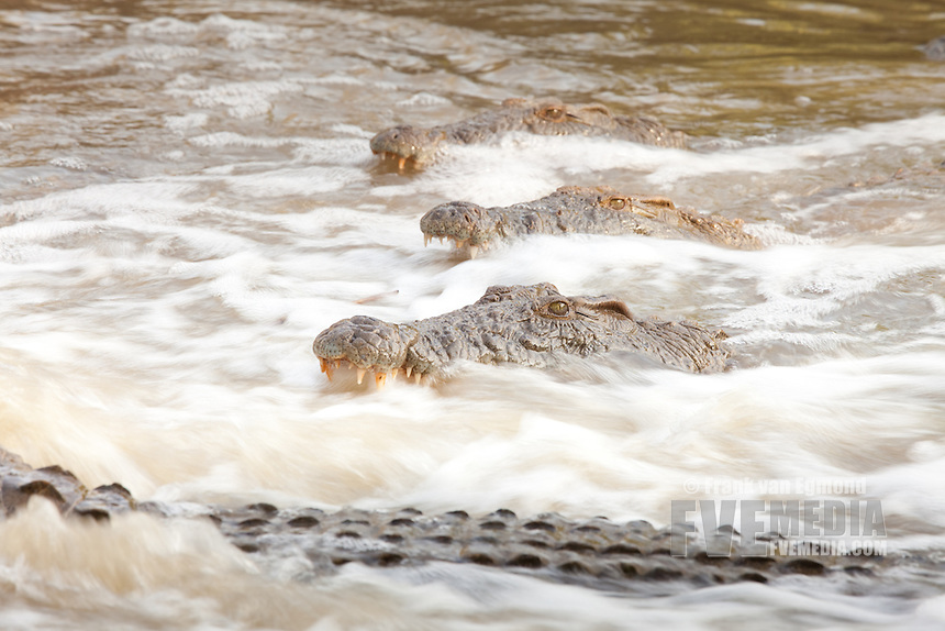 Nile Crocodile (Crocodylus niloticus)..The crocodiles gather where the stream narrows, waiting for fish to swim right into their mouths..Ndumo Game Reserve..Kwazulu-Natal, South Africa...Canon 5D Mark II + EF400 F/4 DO IS USM. 1/30 at F/11. ISO 100..Gitzo Tripod, Arca Swiss Ballhead, Sidekick, Mobile hide.