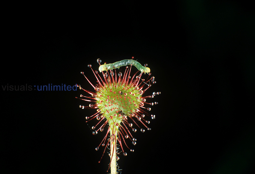 Inchworm trapped on the sticky glandular trichomes on the leaf of a Round-leaved Sundew ,Drosera rotundifolia,.