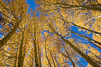 Shades of yellow, green and orange announce the comming of fall. Eastern Sierra, June Lake