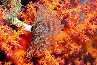 tubeworm, Sabellastarte sp., off coast of Hurghada, Red Sea, Egypt,