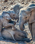 African bush elephant calves at play (Loxodonta africana), Mashatu Game Reserve, Botswana<br />