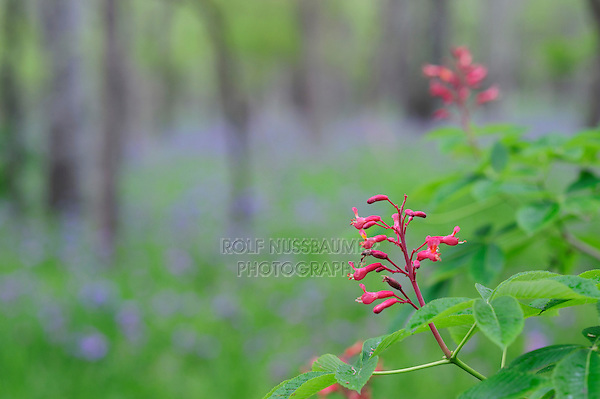 Red Buckeye (Aesculus pavia), blooming, Palmetto State Park, Gonzales County, Texas, USA